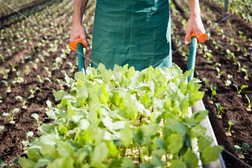 A man pushing a wheelbarrow filled with plants in a field