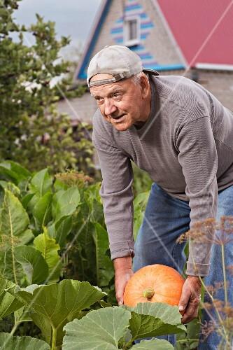 An older man harvesting a pumpkin in his garden