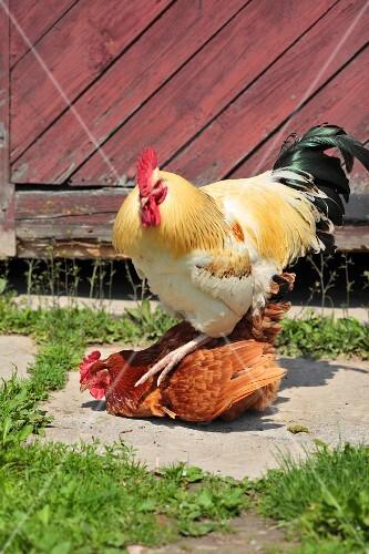 A cockerel and a hen at a farm