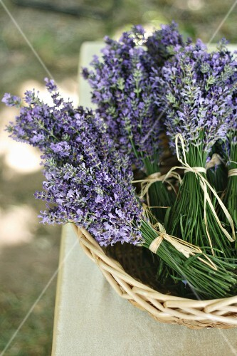 Bunches of lavender in basket
