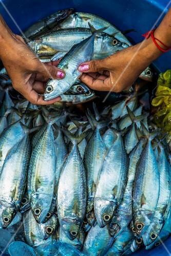Small mackerel for sale, Phnom Penh, Cambodia