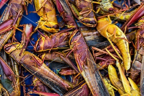 Grasshoppers at a market (Vientiane, Laos)