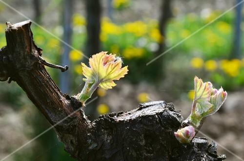 Buds on a grapevine