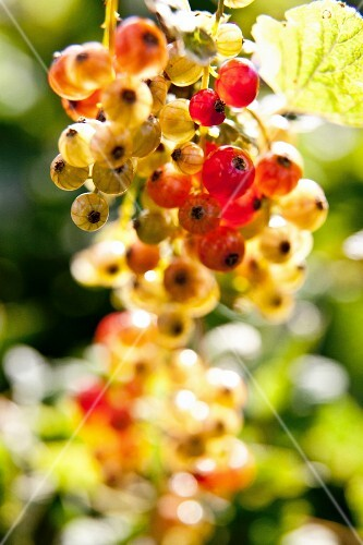 Redcurrants in the sunshine