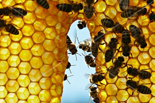 Honeybees working