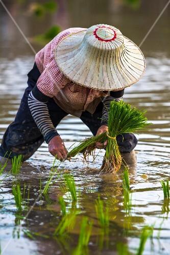 A rice farmer planting seedlings