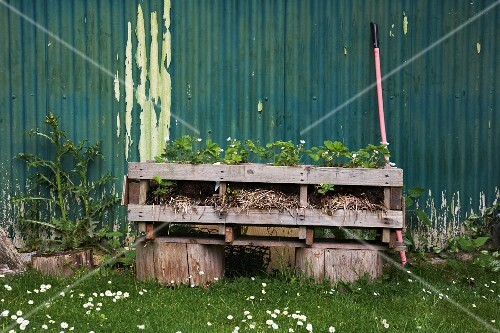 Strawberry plants in a raised flowerbed in front of a green corrugated iron wall with peeling paint