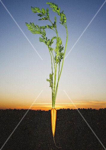 A halved carrot growing in the ground