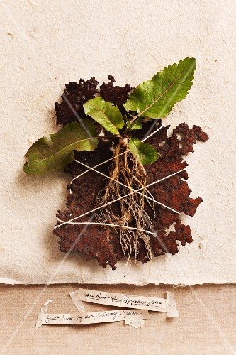 Young liquorice root plants