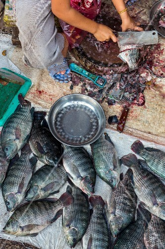 Tilapia being gutted at a market (Vientiane, Laos)