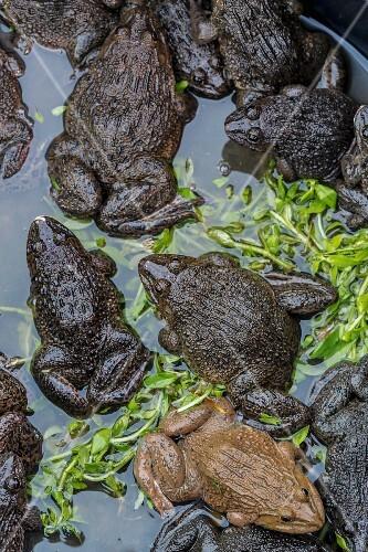 Edible frogs at a market (Vientiane, Laos)