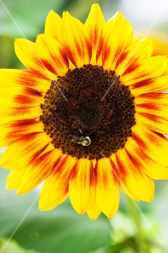 A sunflower and a bee