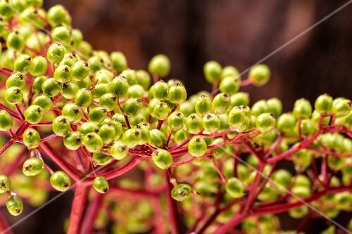 Unripe elderberries (close-up)