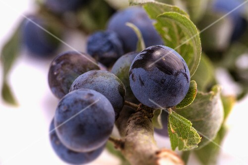 A sprig of sloes (close)