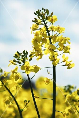 A field of rape in flower (close-up)