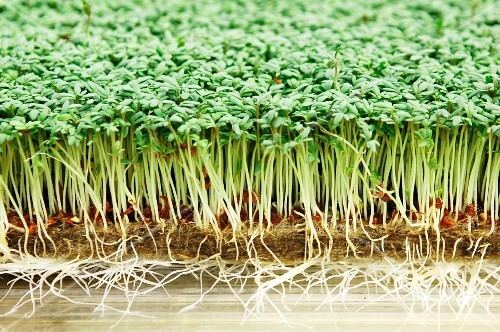Fresh cress in a greenhouse