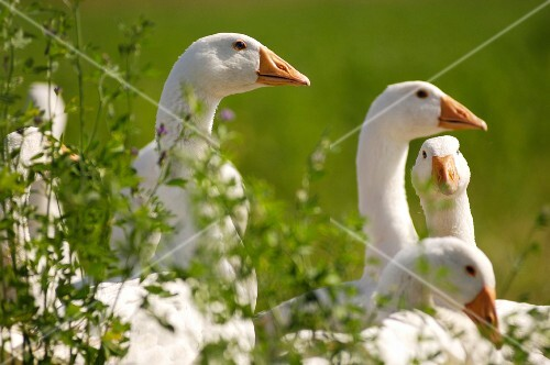 Southern Bergenland meadow geese