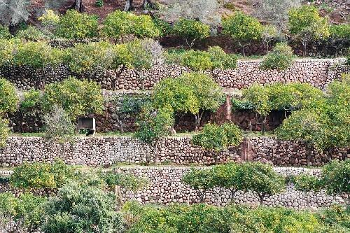 An orange plantation on the Spanish island of Majorca
