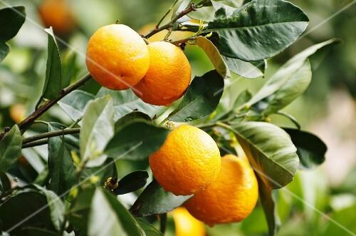 Oranges on a tree (Majorca)