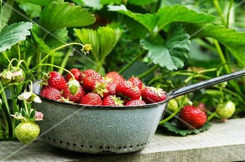 Freshly harvested strawberries in a grey enamel sieve in a garden
