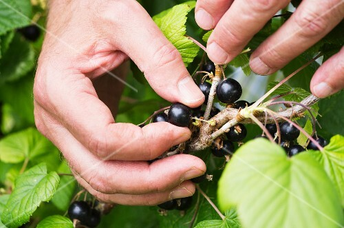 A man's hand picking blackcurrants from a bush