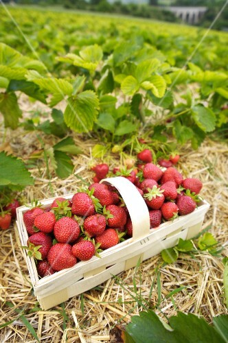 A basket of freshly picked strawberries in a strawberry field (Burgenland, Austria)