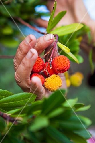 Arbutus - strawberry tree fruit
