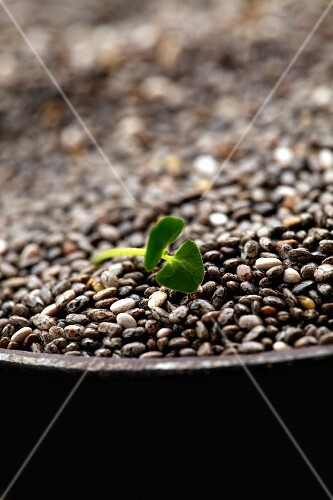Chia seeds and shoots