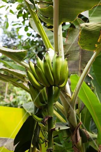 Bananas just before harvesting