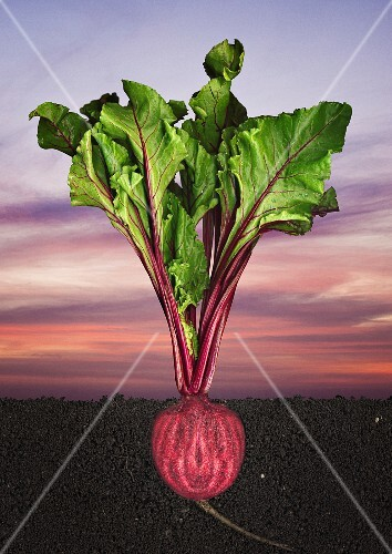 A cross-section of beetroot growing in the ground