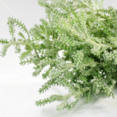 Fresh cotton lavender