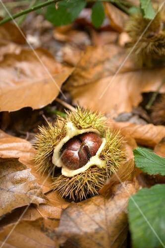 An edible chestnut on the forest floor