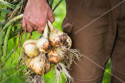 A man in a garden holding freshly harvested onions