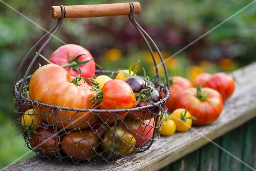 A colourful harvest of tomatoes in a garden