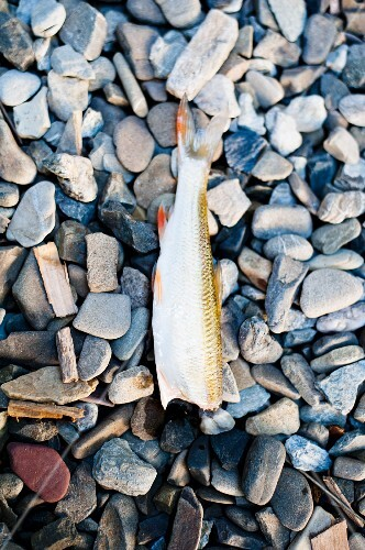 A headless fish on gravel (seen from above)