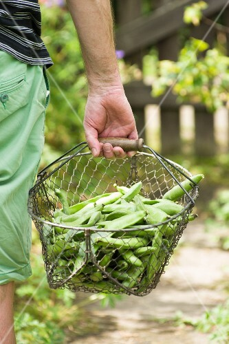 A man carrying a basket of freshly harvested broad beans in from the garden