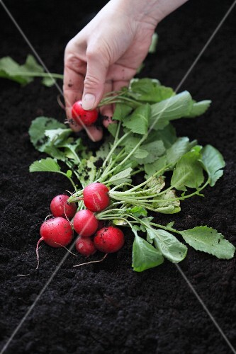 Radishes on the ground