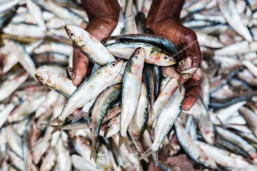 A man holding freshly caught sardines