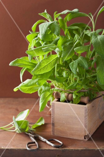 Fresh sage in a wooden crate