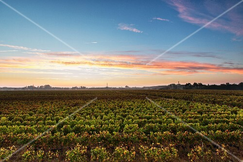 Wine growing region Pomerol im Bordelais (Bordeaux, France)