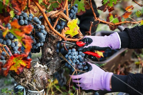 Grapes being picked in the Pomerol wine growing region in Bordelais, Bordeaux, France
