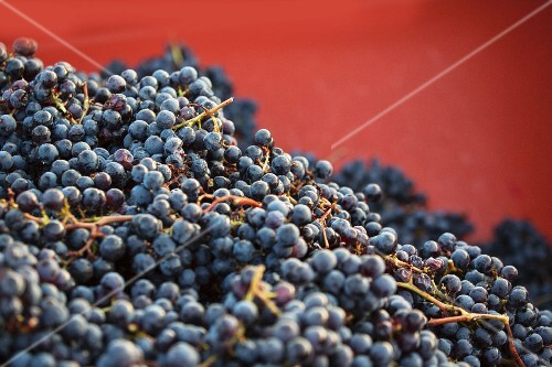 Red wine grapes in a container after harvesting
