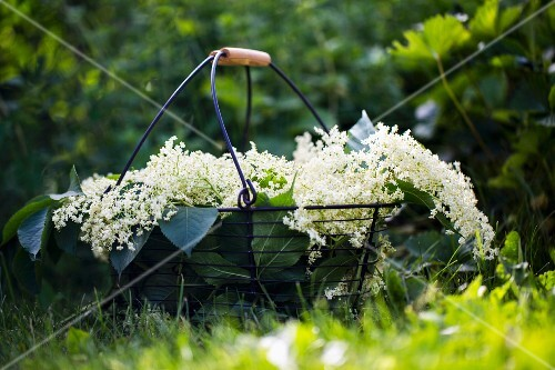 Freshly cut elderflowers in wire basket