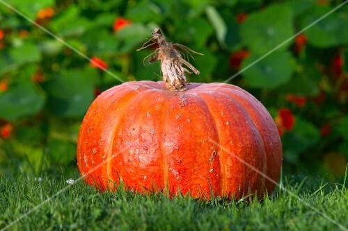 A pumpkin in a field