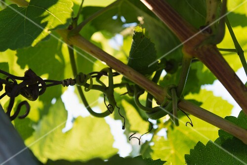Vines under a canopy of green leaves