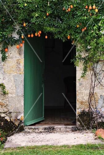 Passion fruit plant growing over door
