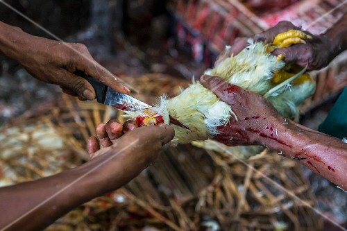 A chicken being slaughtered at a market in Yangon, Myanmar