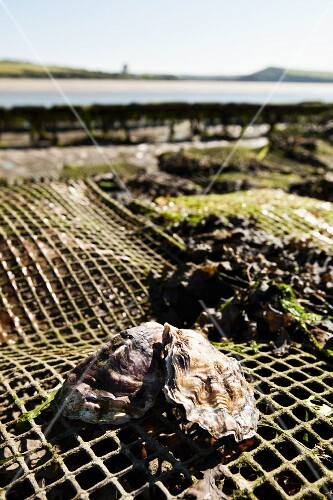 Oysters at an oyster farm in Rock (Cornwall, England)