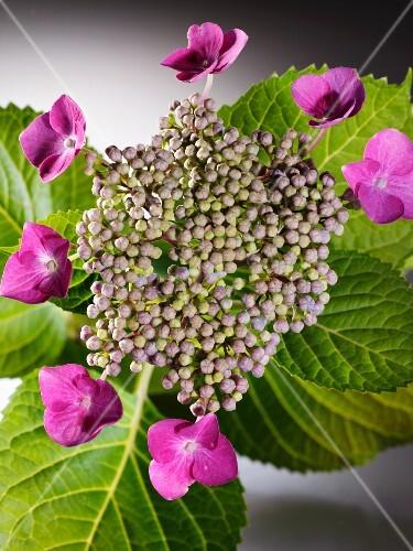 Hydrangea sargentiana flowers (close-up)