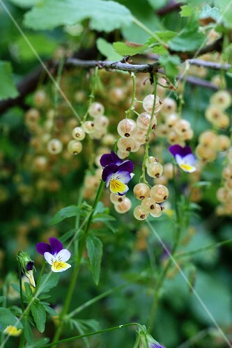 Whitecurrant plants growing between violets